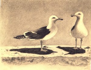 Lesser Black Back Gulls. Pencil