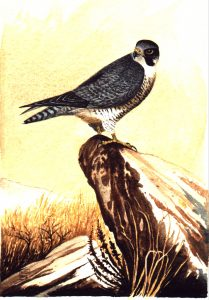 Peregrine Falcon. Watercolour