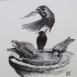 Starlings, 2 Juveniles and 3 Adults at the Water Bath (Pen and Ink)