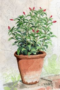 Fuchsia (Watercolour)